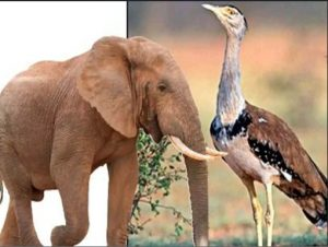 Elephant and Indian Bustard